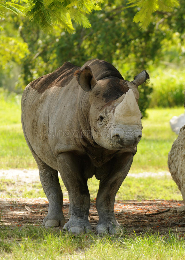 Download Wild rhino stock image. Image of natural, african, wilderness - 14784467
