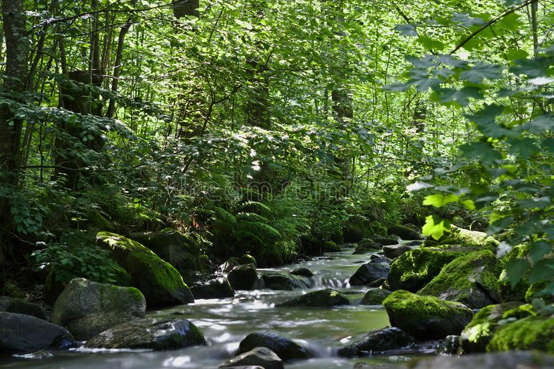 Wild River in the woods of the Ravennaschlucht royalty free stock images