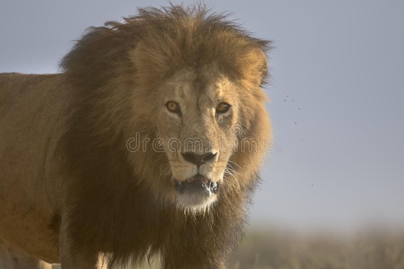 Wild roaming African male lion portrait. Wild free roaming African male lion portrait stock images