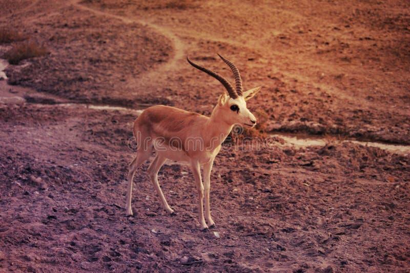 Wild roe deer buck standing in a field stock photos