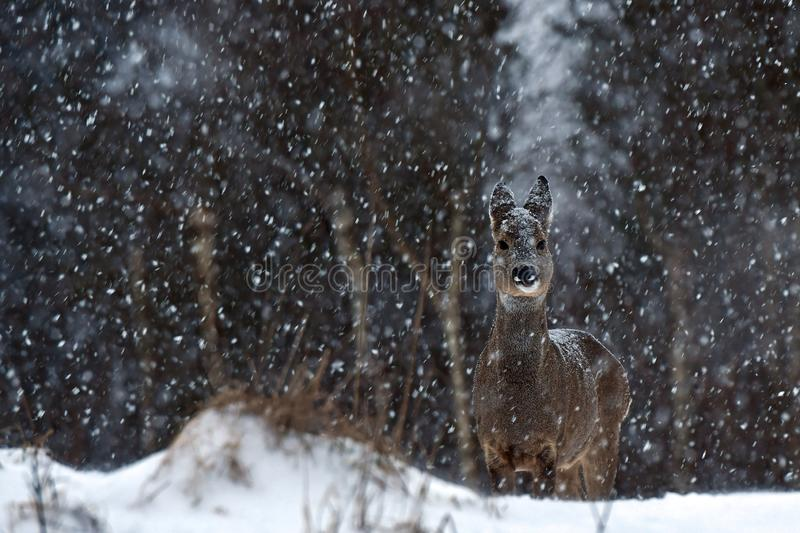 A wild roe deer, Capreolus capreolus female in a snowstorm in wintery landscape . stock photos