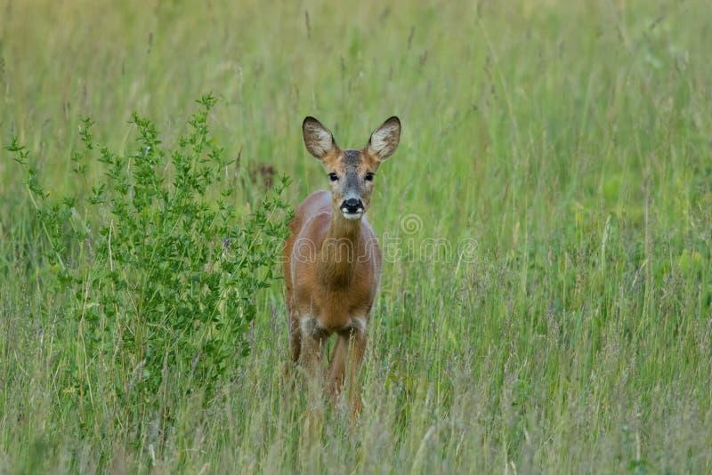 Wild doe. Wild roe deer doe on a green meadow in summer, Estonia stock photo