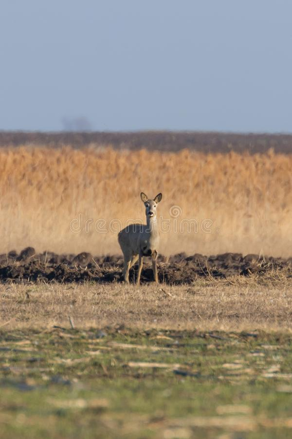 Wild roe deer in a field, spring time. Wildlife royalty free stock photos