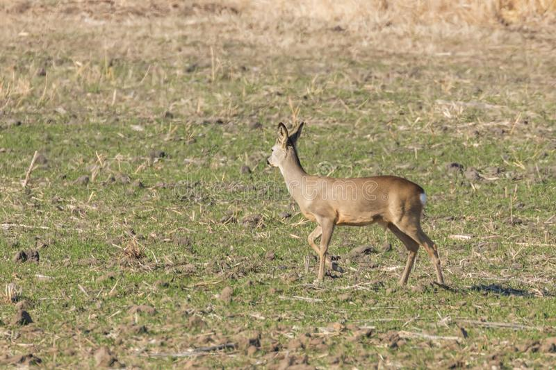 Wild roe deer in a field, spring time. Wildlife stock image