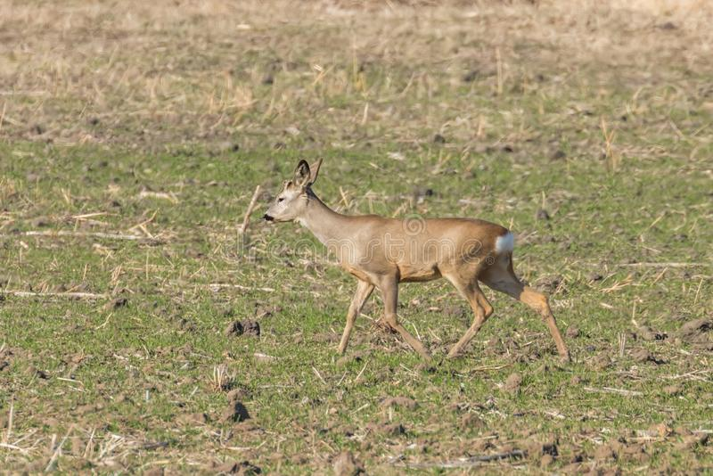 Wild roe deer in a field, spring time. Wildlife stock images