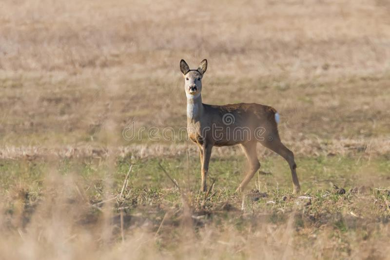 Wild roe deer in a field, spring time. Wildlife royalty free stock photography
