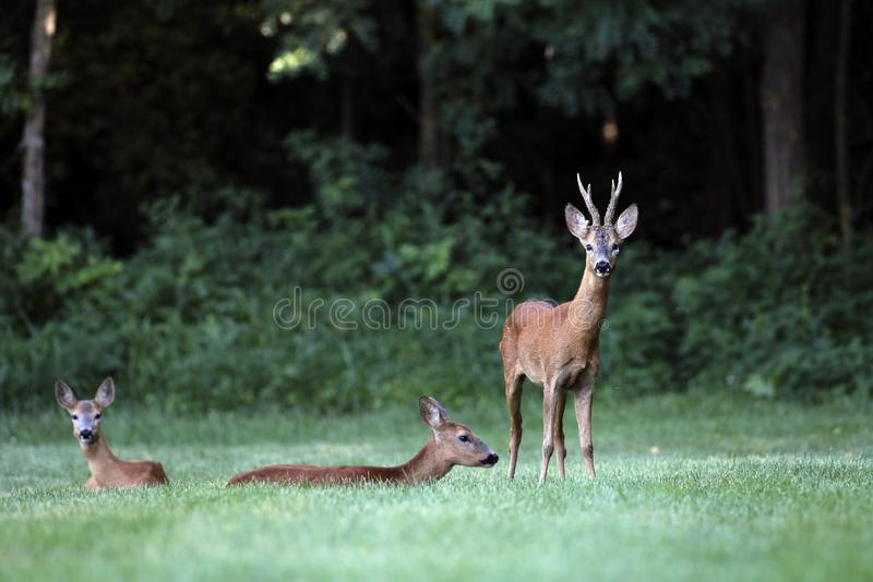 Wild roe deer,male and female standing in a grass field. Wild roe deer, male and female standing in a grass field at the edge of a forest royalty free stock image