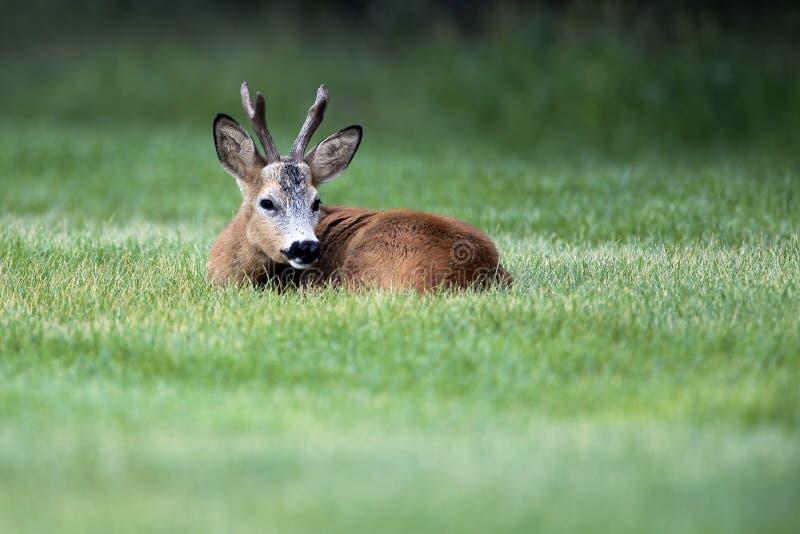 Wild roe deer(male) standing in a grass field stock image