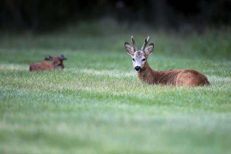 Wild roe deer& x28;male& x29; standing in a grass field stock photo