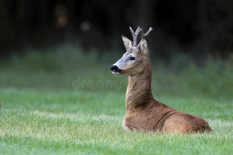 Wild roe deer(male) standing in a grass field stock photography