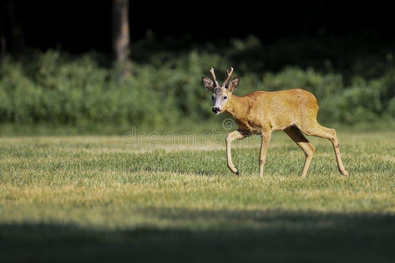 Wild roe deer(male) walk in a grass field stock photography