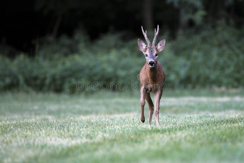 Wild roe deer& x28;male& x29; walk in a grass field stock photo