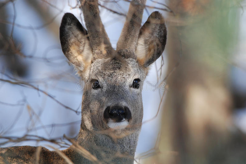 Roe deer portrait. Wild roe deer portrait through the thicket stock photography