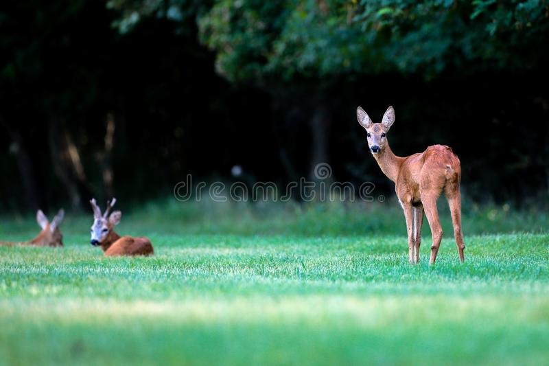 Wild roe deer standing in a grass field royalty free stock photo