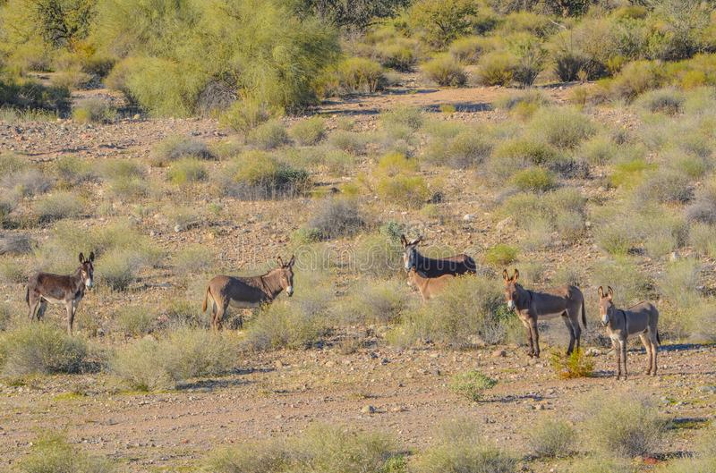 Wild Rogue Donkeys, also known as Feral Burros,  graze the Sonoran Desert mountains in Maricopa County. Arizona USA.  stock photography
