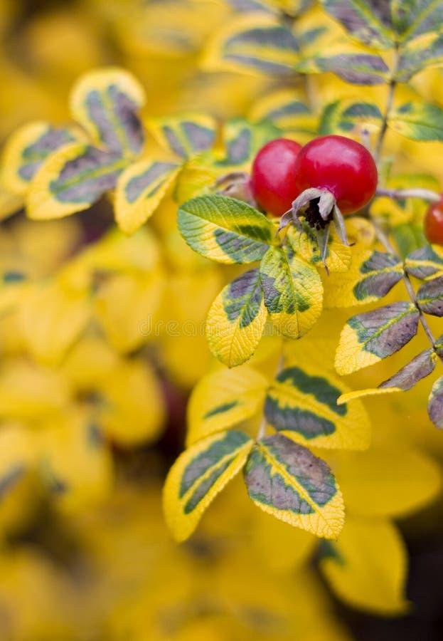 Download Wild Rose Stock Photos - Image: 1521363