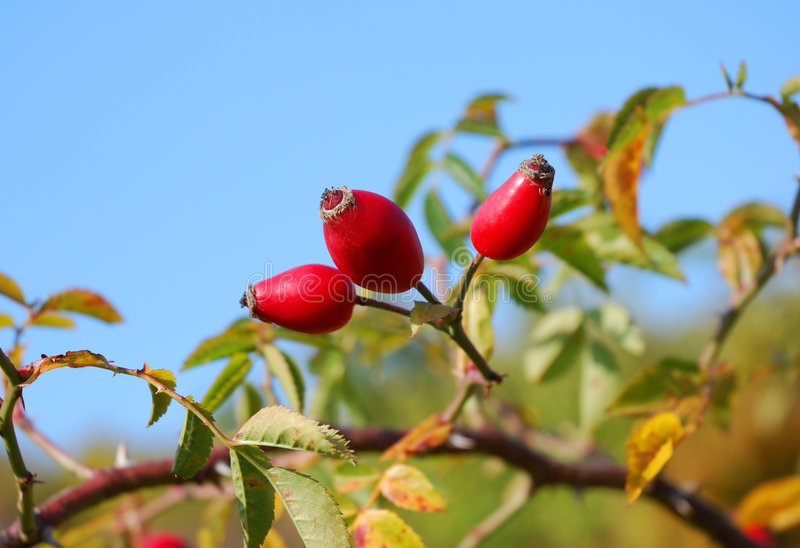 Download Wild rose stock photo. Image of brier, ptisan, multicolour - 7791544