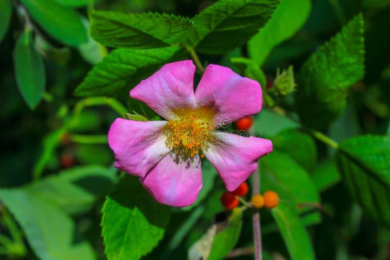 Wild Rose Blossom Amidst Green Foliage - Rosa Acicularis lizenzfreies stockbild