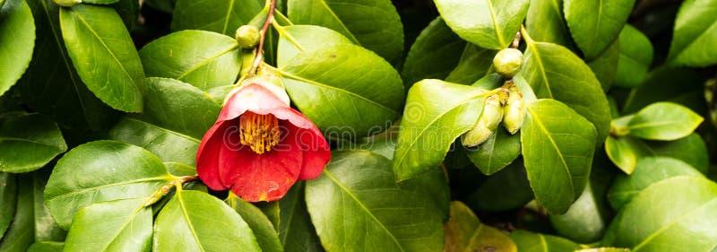 Wild rose bush with flower in bloom. In summer garden royalty free stock photo