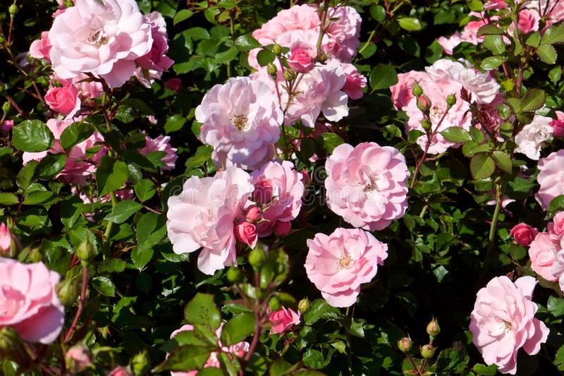 Wild rose bushes with pink flowers and dark green leafs royalty free stock images