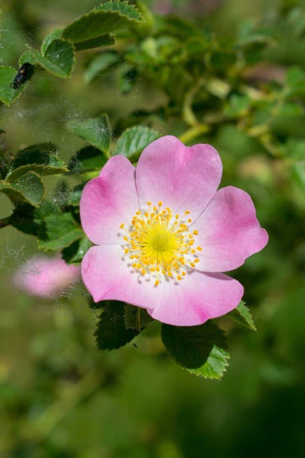 Wild rose closeup stock image