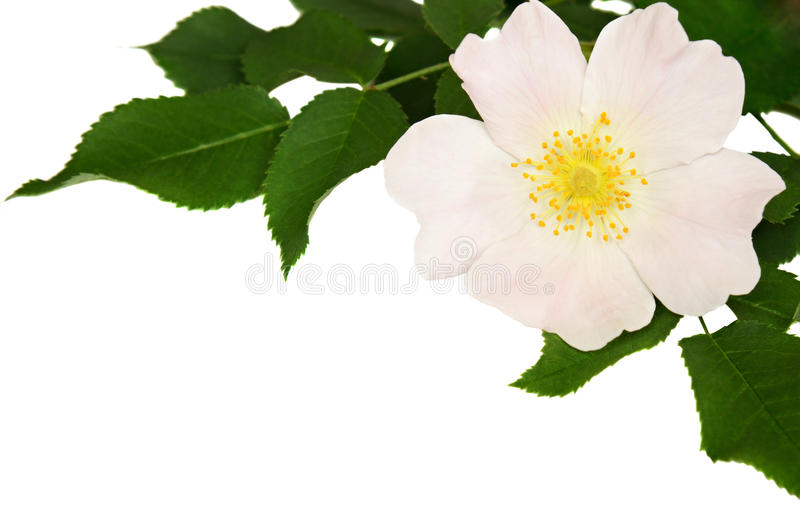 Wild rose in a corner. Isolated on white stock photo