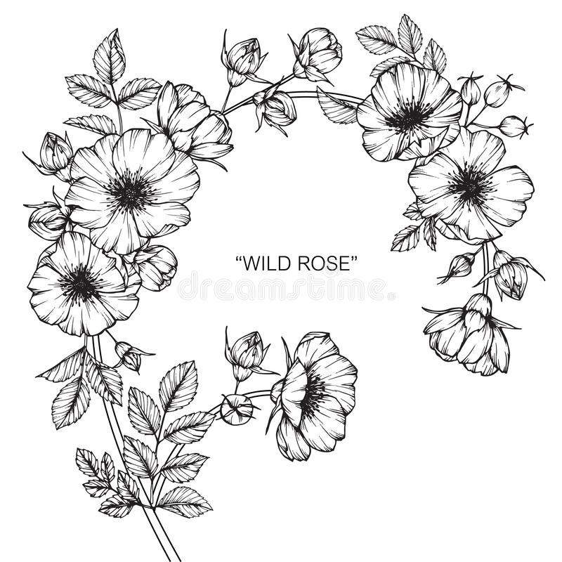 Line Drawing Of Rose Flower : Wild rose flower drawing and sketch stock illustration