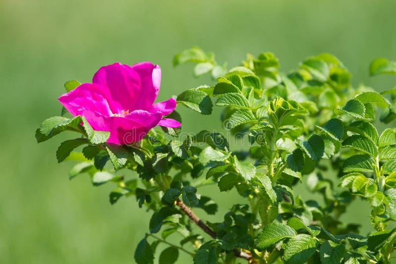 Download Wild rose flower stock image. Image of season, blossom - 38512491