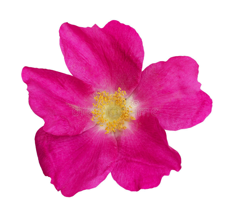 Wild rose flower. Isolated on white royalty free stock image