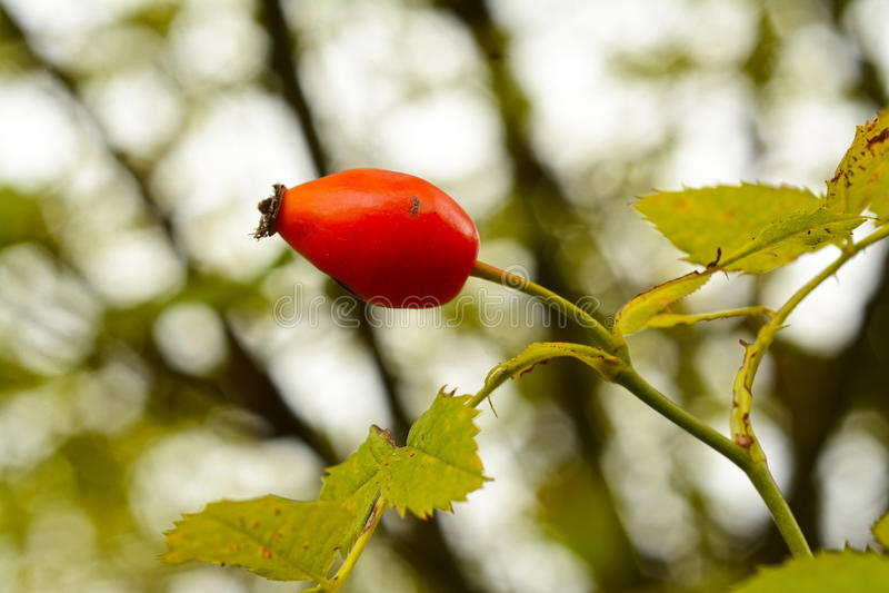 Wild rose hip fruit royalty free stock photography