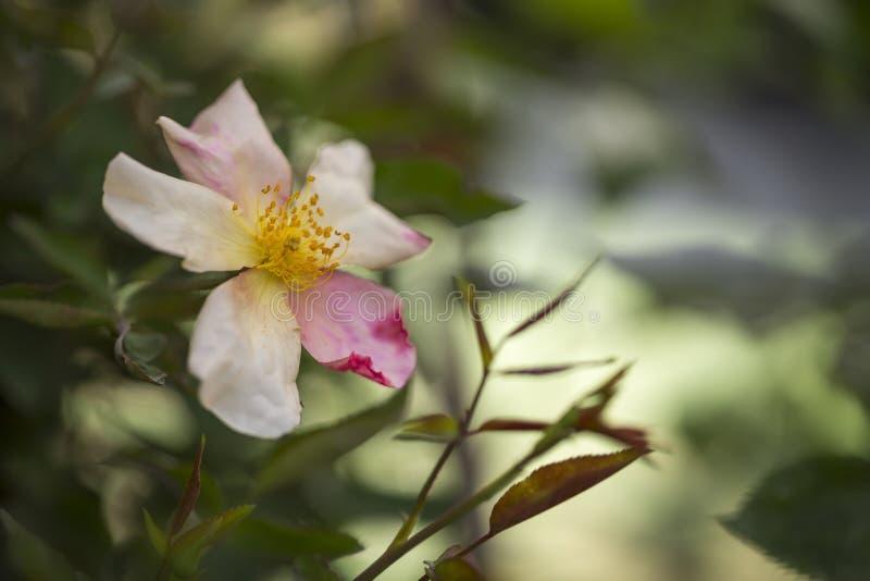 Wild rose rose hip stock image