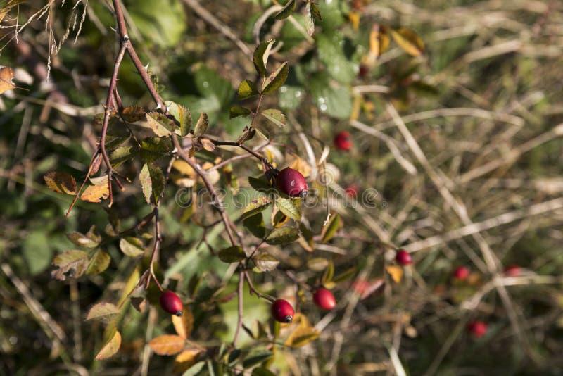 Briar fruit, wild rose hip shrub in nature stock images