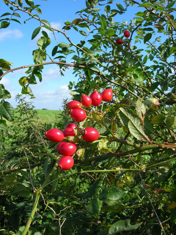 Wild Rose Hips Stock Images