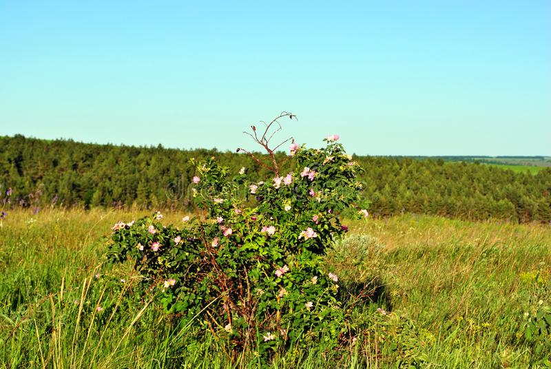 Wild rose pink flowers on the green bush on the hill, landscape with forest and blue sky stock photography