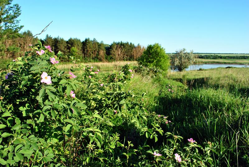 Wild rose pink flowers on the green bush, landscape with forest and river stock image