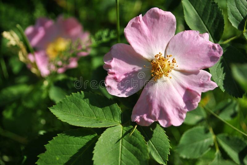 Wild rose pink flowers, soft green leaves stock photos