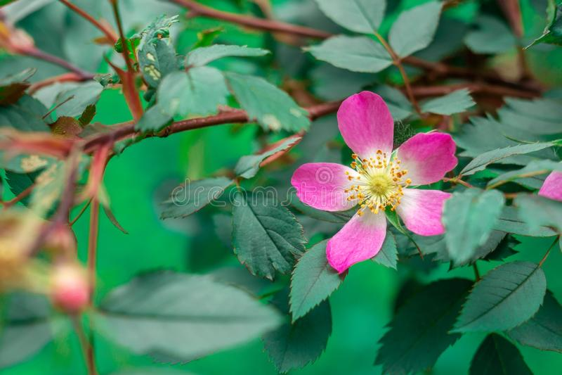 Wild rose Rosa glauca. Plant species belonging to the family of Dogrose of the Rosaceae family. Close-up of flowering Rosa glauca. In a cottage garden stock image
