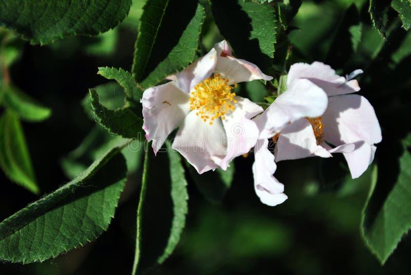 Wild rose white flowers on the soft dark green leaves blurry bokeh stock photos