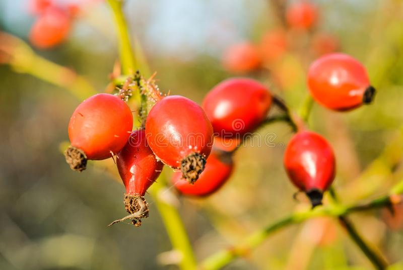 Wild rosehip berries in the fall royalty free stock image