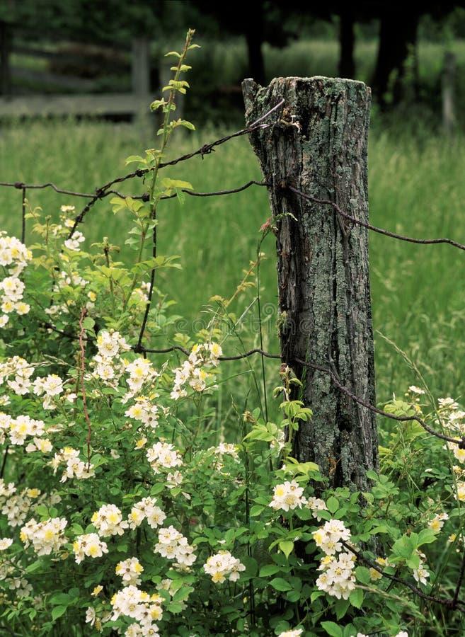 Free Wild Roses Stock Photos - 1119133