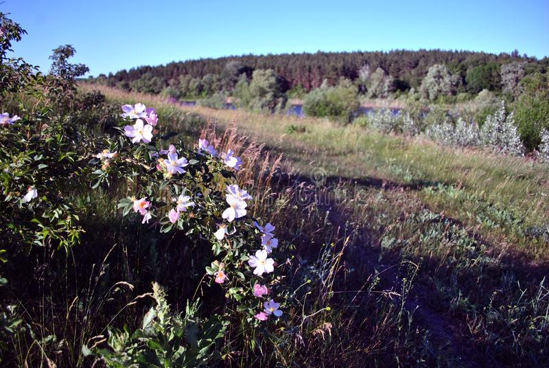 Wild roses bush with white flowers on hill, landscape background lake, forest and blue royalty free stock images