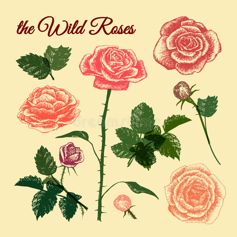 The Wild Roses - colourful royalty free stock image