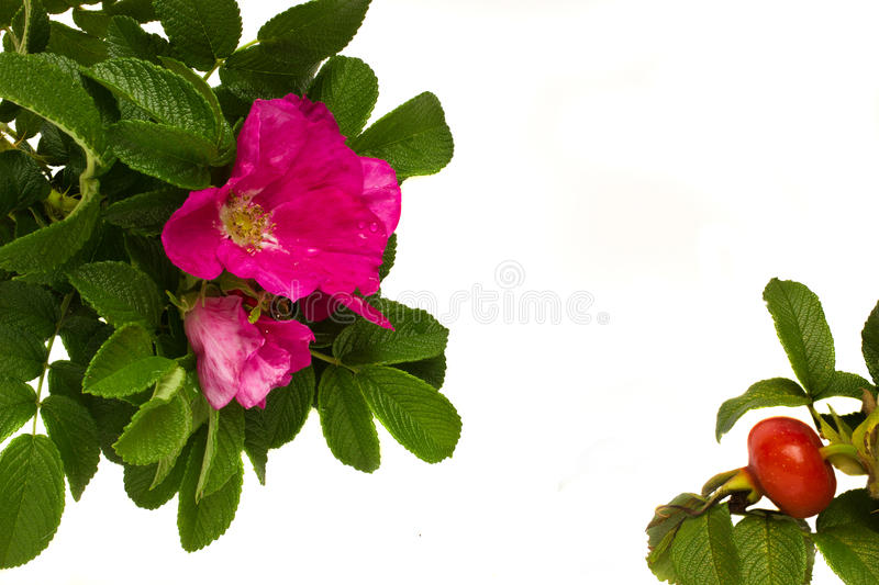 Download Wild Roses Frame Stock Photo - Image: 20626280