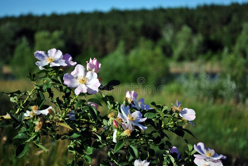 Wild roses white flowers on the bush, green landscape background and sky line stock photography