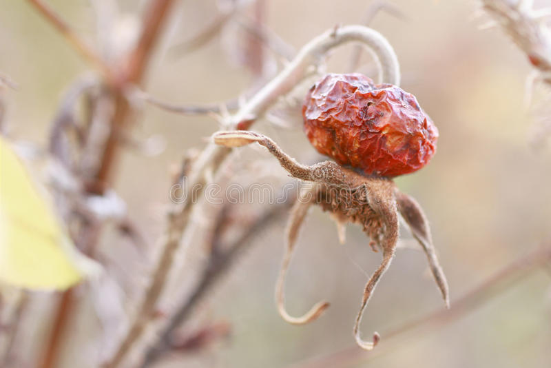 A wild rose fruit on autumn morning royalty free stock image