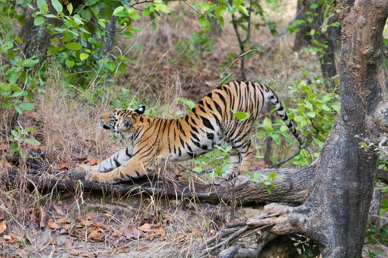 Wild Royal Bengal Tiger in jungles of India stock images