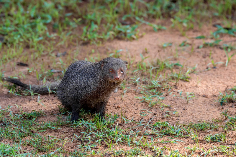 Wild ruddy mongoose royalty free stock photography