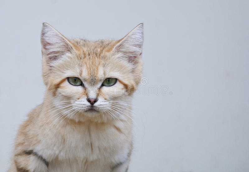 Wild sand cat close up portrait. Wild sand cat with green eyes close up portrait royalty free stock image