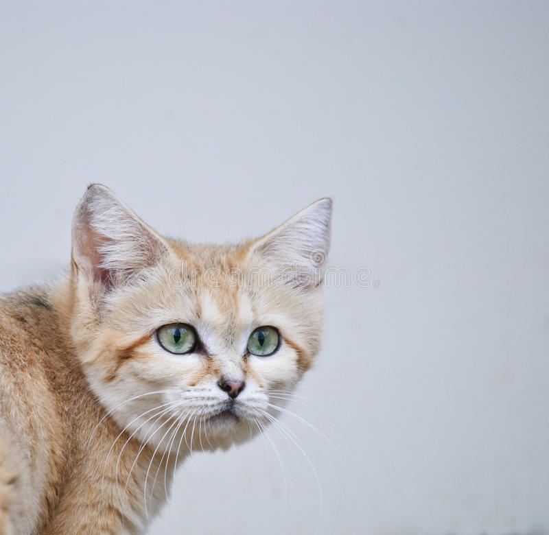 Wild sand cat close up portrait. Wild sand cat with green eyes close up portrait royalty free stock photos