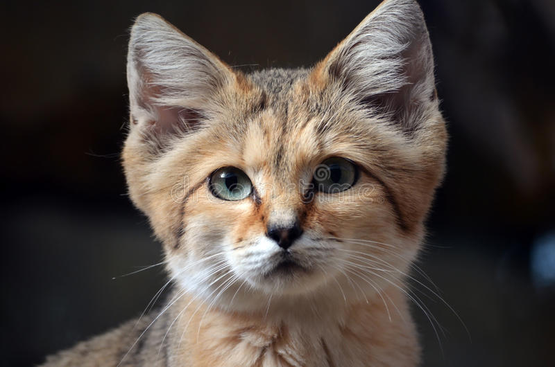 Wild Sand Cat. The Wild Sand Cat usually seen in the deserts of North Africa. Beautiful to look at but ferocious to get up close to. This one was seen in a Wild royalty free stock photo